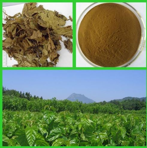 mulberry leaf extract-1