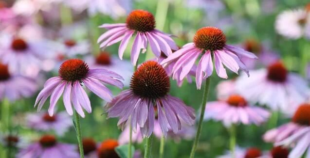Coneflower Powder benefits