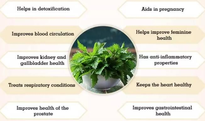 nettle root benefits