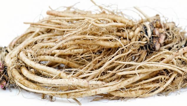 What is chicory root extract used for