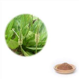Plantain Leaf Extract